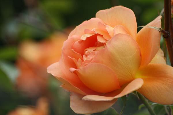 Skøn rose der minder os om sol og sommer, Pat Austin rose