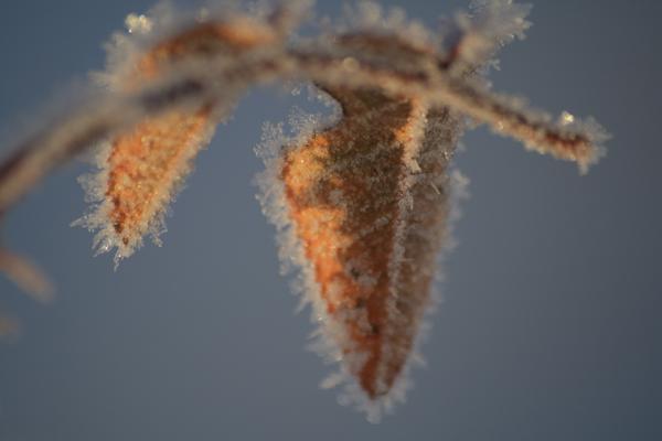 Rose i frost og sne d. 12.12.12 kl. 12.12