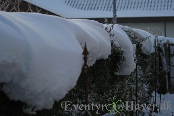 Hæk fyldt med sne - husk fjerne sne inden tø