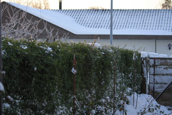 fjerne sne så Ingen tø sne kommer til at ødelægge min hæk.