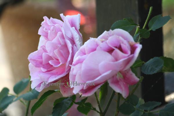 Smuk lilla rose