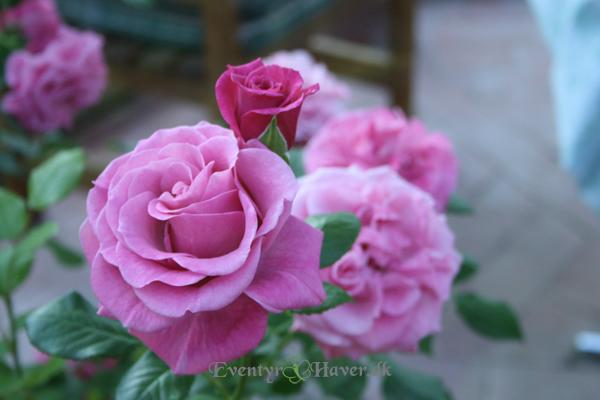 Skøn rose fra Merete's have