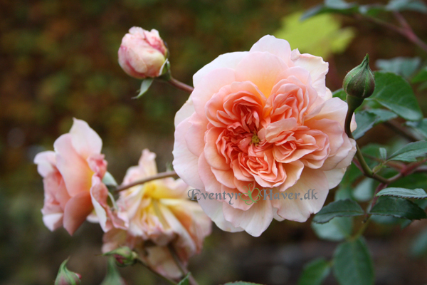 Port Sunligth rose fra David Austin roses