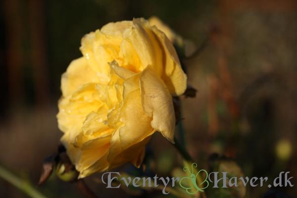 Golden Celebration vinter rose - Endnu en David Austin rose