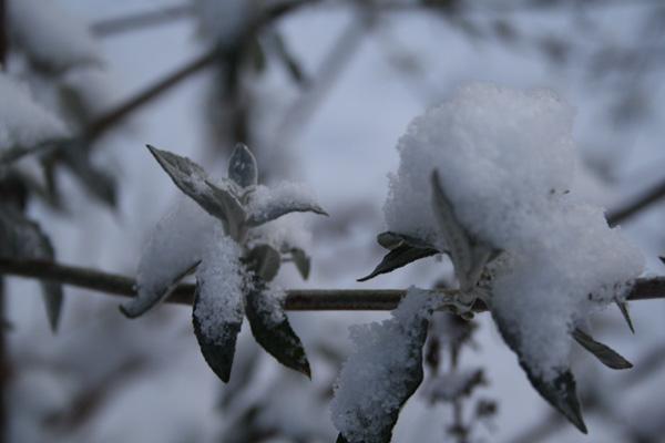 De ser dekorativt ud med sneen på sommerfuglebusken
