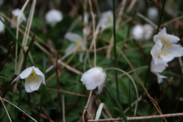 Skovbunden vrimler med anemoner