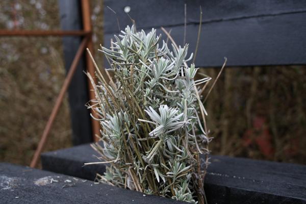 lavendel skud lige til at lave nyde planter af