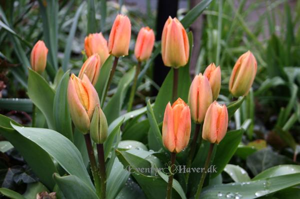 Flot orange tulipan -