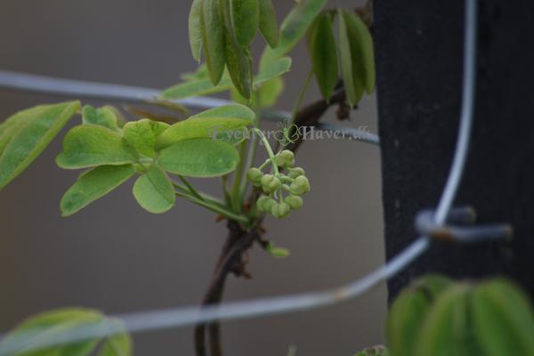 Acebia med fine små blomster knopper