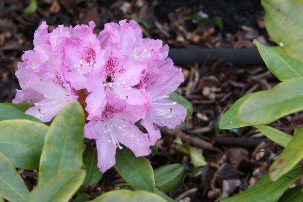 pink/lavendelfarvet rhododendron