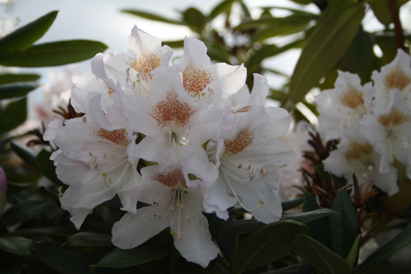 hvid rhododendron