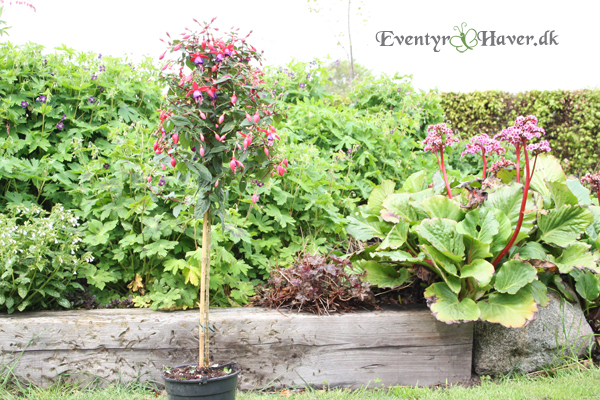 opstammet fuchsia i pink og lilla