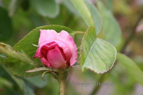 lækker engelsk rose the Mayflower
