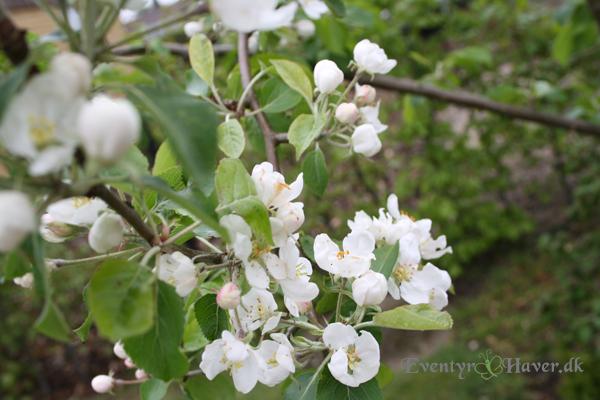 Paradisæbletræet står med smukke blomster og frister bier og brumbasser