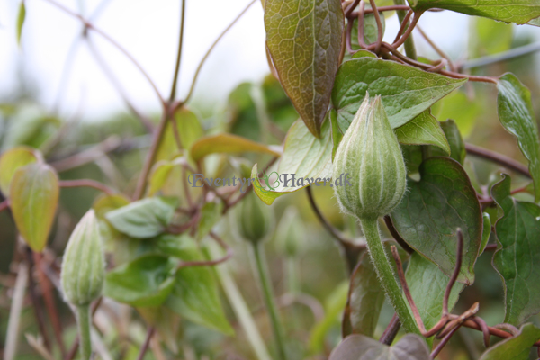 Store knopper i clematis