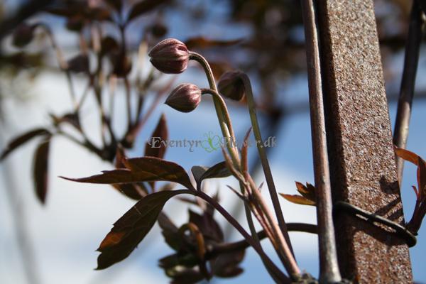 Flot rødt løv og små fine hvid/rosa blomster har denne clematis