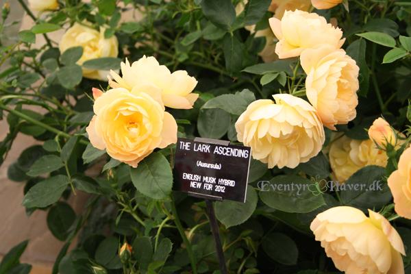 gul rose - yellow rose