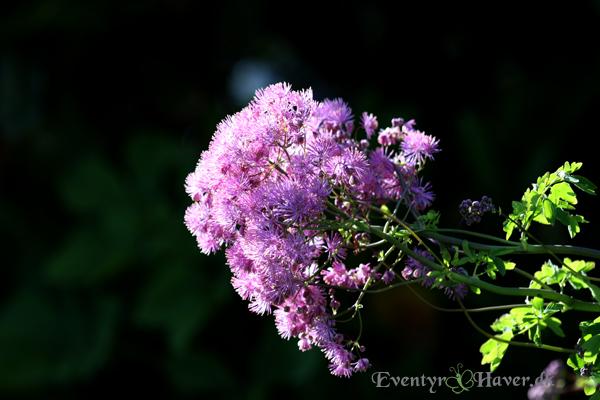 Akelejefrøstjerne - Thalictrum aquilegiifolium