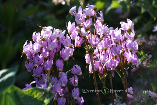 Rhododendron lilla