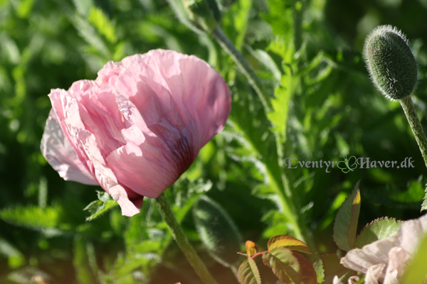 Papaver - staudevalmue  'Patty's Plum'