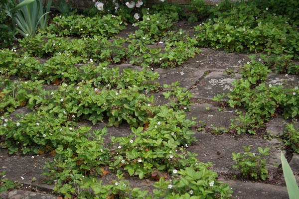 Fragaria vesca - skovjordbær