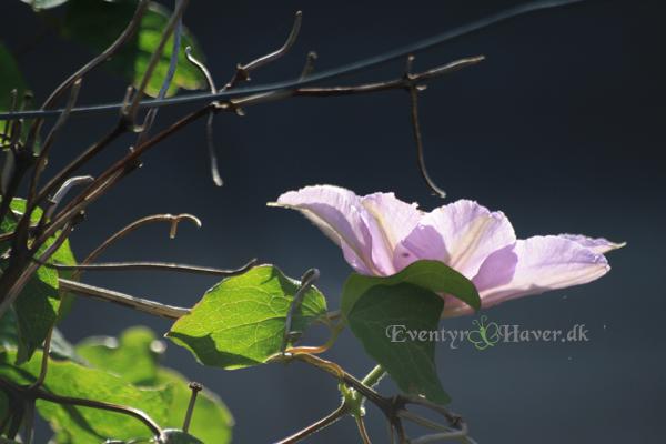 Blue angle clematis smuk og lækker i sollyset