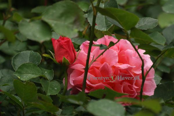 Skønhed med gult islæt Lillian Austin rose