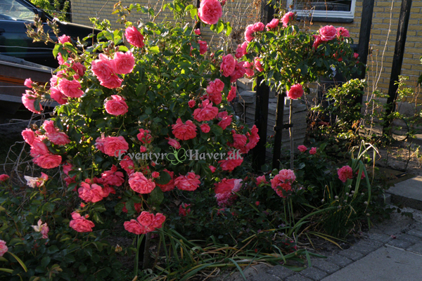 rosa Rosarium Uetersen og Lillian Austin rose