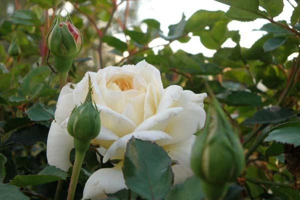 Den engelske rose Crocus Rose
