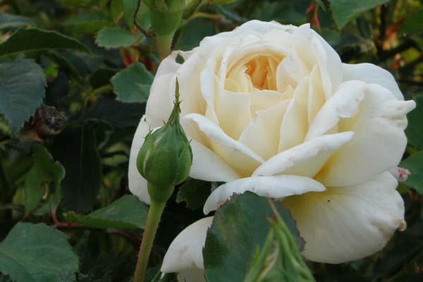 Skønne Crocus Rose med de kønneste knopper