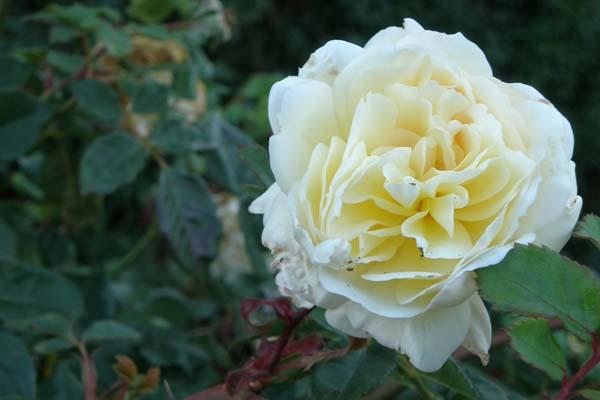 Hvid - gul engelsk rose Crocus Rose