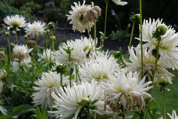 Skøn hvid dahlia