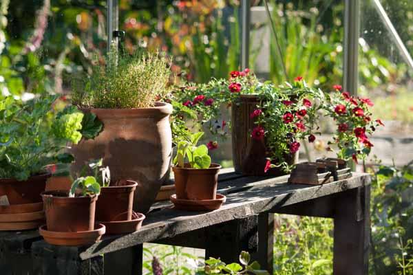 Der står de skønneste blomster på rad og række i det skønnest drivhus