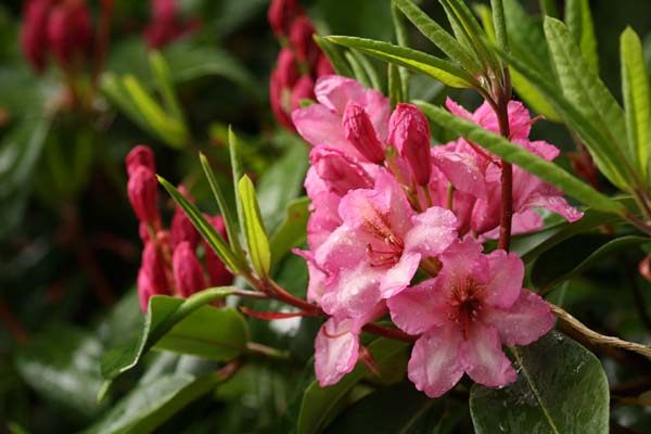 Rhododendron Duke of York