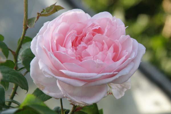 Skøn engelsk rose Eglantyne
