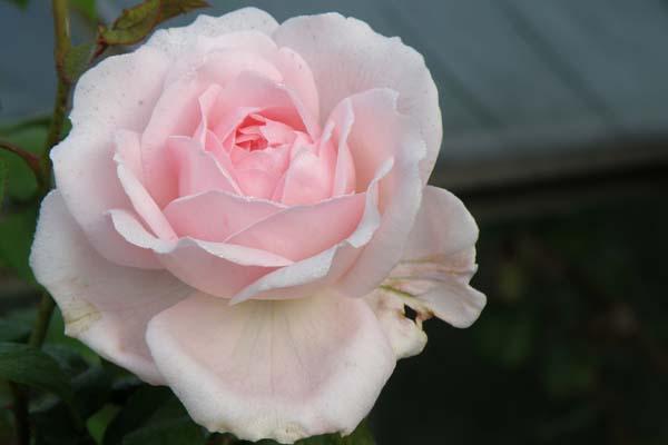 Smuk engelsk rose med skøn mild duft