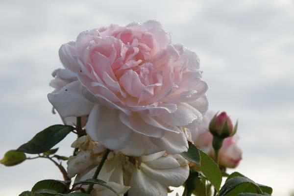 en skøn lyserød drøm af en rose Eglantyne