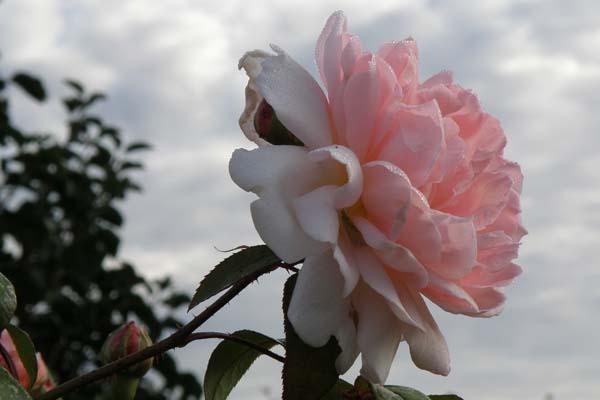 Engelsk rose når den er smukkest