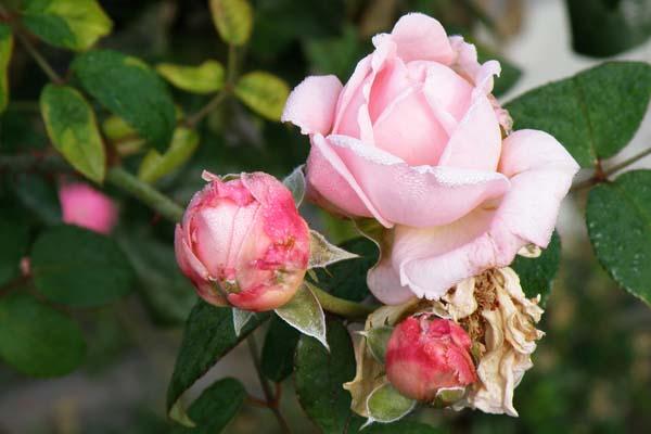 Skønne og dejlige knopper på Rosen Eglantyne