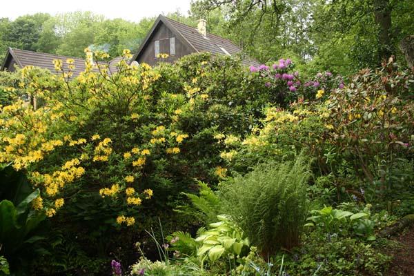 Denne skønne gule azalea både dufter og blomstre overdådigt
