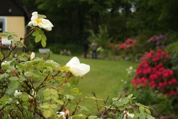 Elses roser var begyndt at springe ud - allerede i maj måned