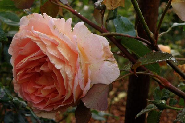Smuk og med den dejligste duft - Evelyn rosen