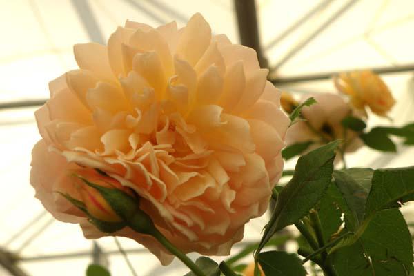 Grace den yndefulde engelske rose