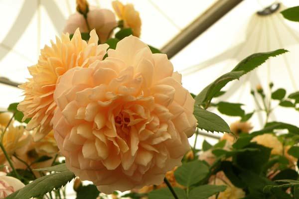 Smuk og yndefuld Engelsk rose - Grace