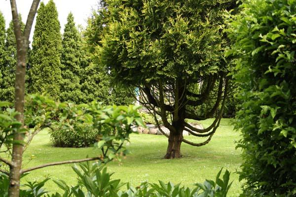 Stedsegrønne træer er der mange af som også er helt skulpturelle