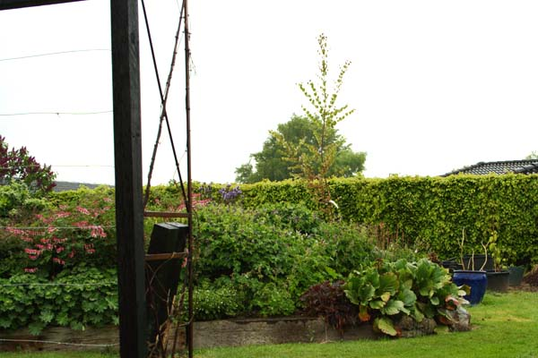 Rødbroget hjertræ plantet på staudehøjen