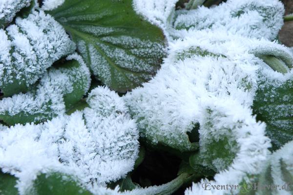 Kæmpestenbræk med frostkrysstaller