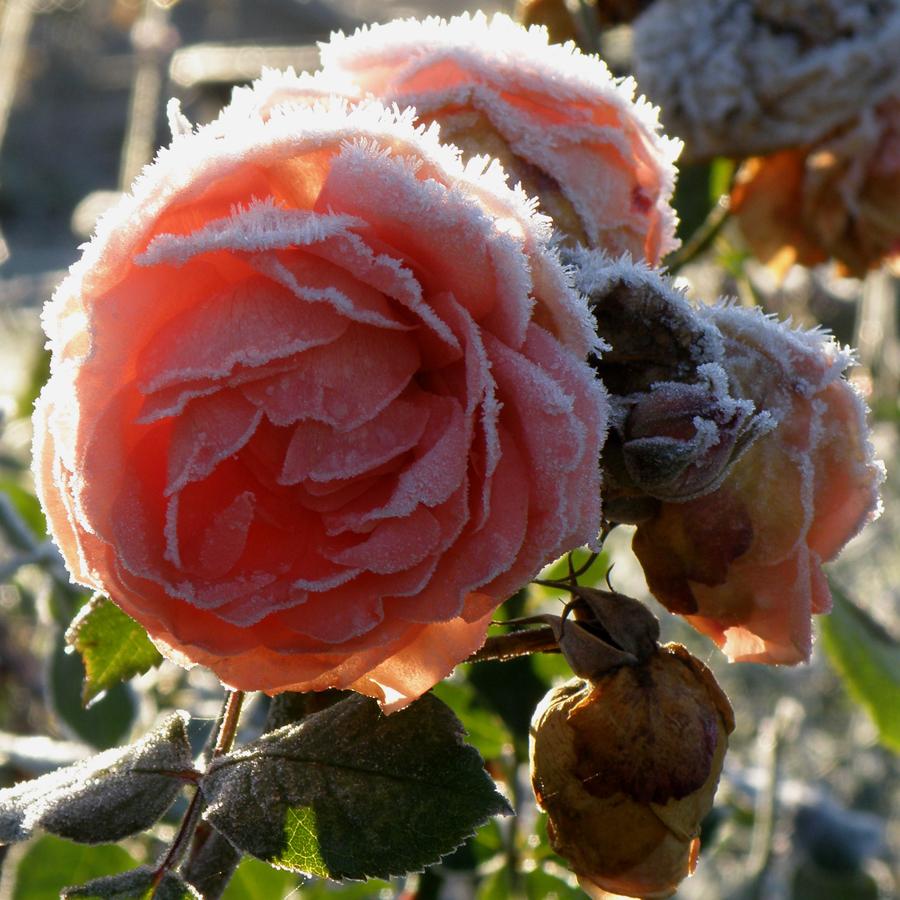 Jubilee celebration Frost og forfald - engelsk rose