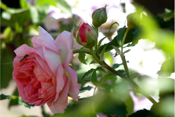 Jubilee Celebration - Den engelske rose