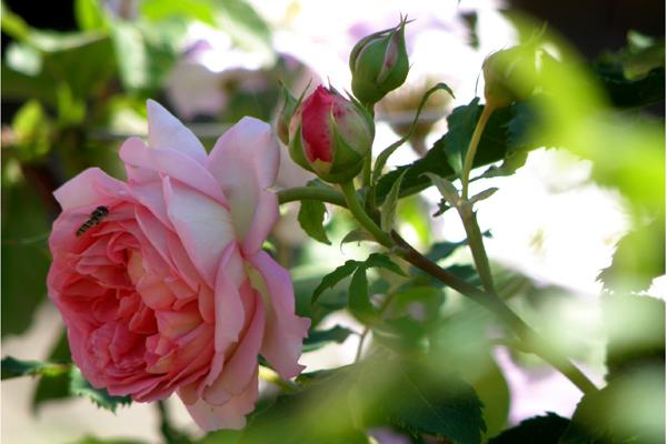 Jubilee Celebration - Den engelske rose